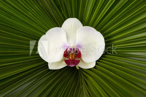 Macro of white orchid on palm leaf background