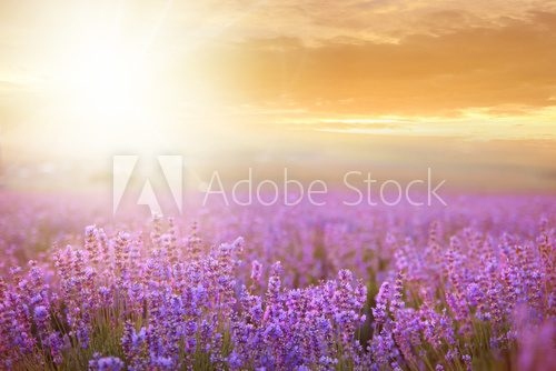 Sunset over a lavender field.