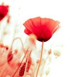 floral design, decoration flowers, red poppies - angle of page