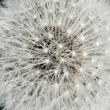 Heart of a dandelion