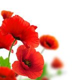 Poppies white background Environmental design